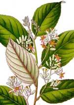 Shilajit plant